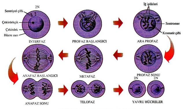 Mitoz evreleri: özellikleri. Mitotik hücre bölünmesinin önemi