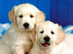 Köpeklerin özellikleri, köpekler hakkında bilgi, köpek türleri