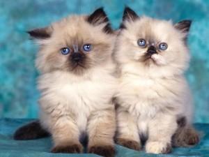 Kedilerin özellikleri