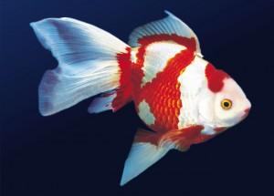 Akvaryum Balık Türleri, Akvaryum Balıklarının İsimleri ve Özellikleri