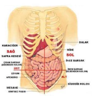 Vücutta Organların Yeri, Organların Yerleri